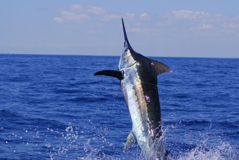 Stuart Fl. sport fishing charters. Deep sea fishing charters out of Stuart Fl. aboard Off the Chain