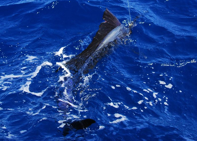 Stuart fishing charters. Sailfish charters near Orlando, Tampa and Palm Beach.