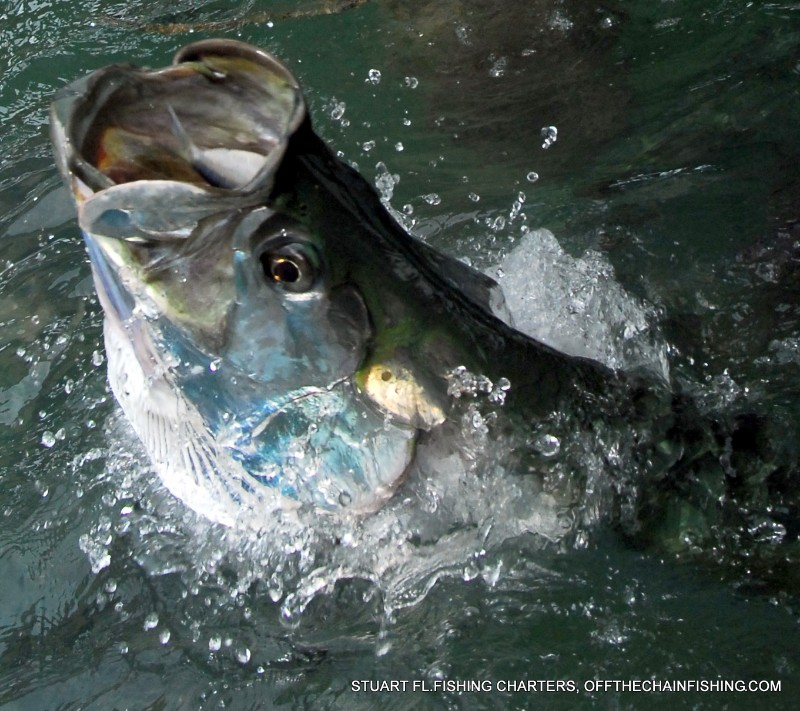 Nice Tarpon on a Stuart Fl. light tackle fishing charter