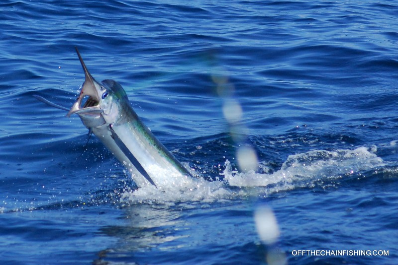 Open wide! Marlin Fishing off the Bahamas. Off The Chain Fishing Charters
