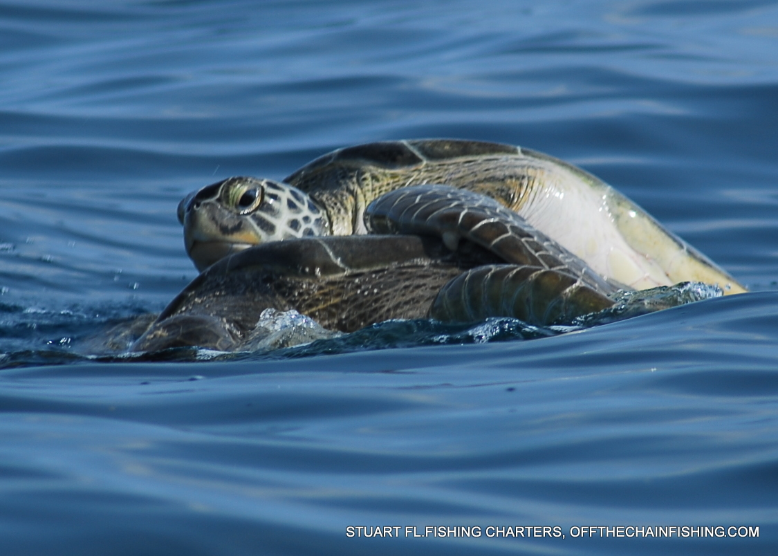 Two turtles... Off the Chain Deep Sea Fishing Charters. Fishing charters out of Stuart Fl.