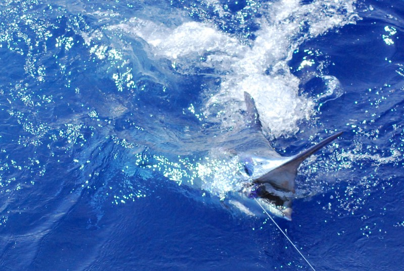 175 lb. Blue Marlin bonus! Not just Florida tuna charters.
