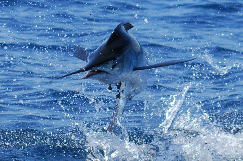 Jensen Beach Fishing Charters. Light tackle billfish charters